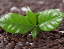 Kaffeebohnen und -blätter