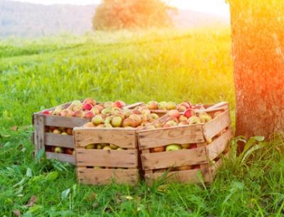"""Seit 1995 erstellt der Verband über die sogenannte """"Bavendorfsche Fruchtbehangschätzung"""" Prognosen über die Ernte der Streuobstäpfel"""